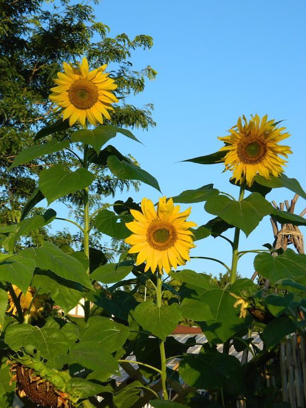 CG-sunflowers