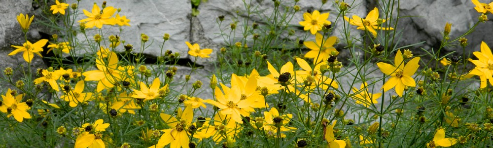 Coreopsis-Wall