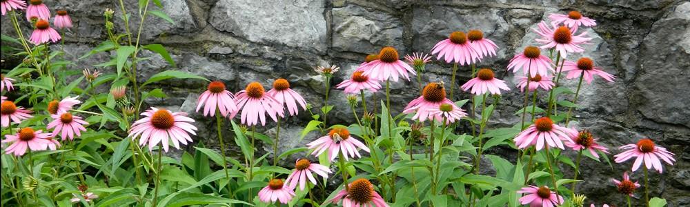Echinacea-Wall