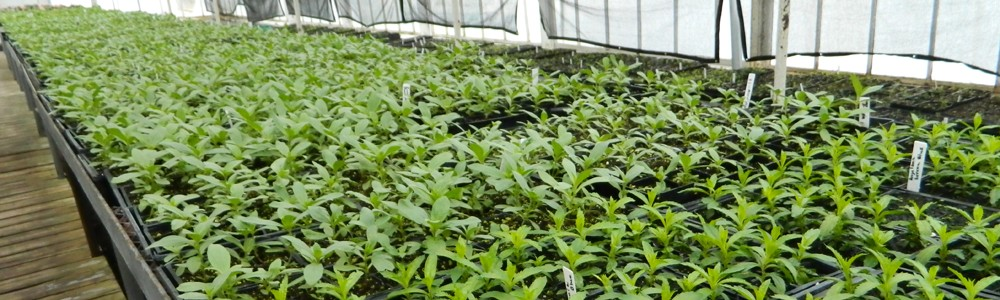 GreenhouseSeedlings