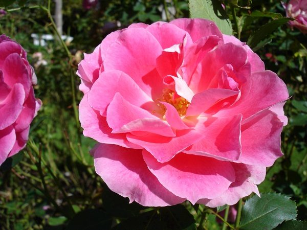 Rose at Sonnenberg