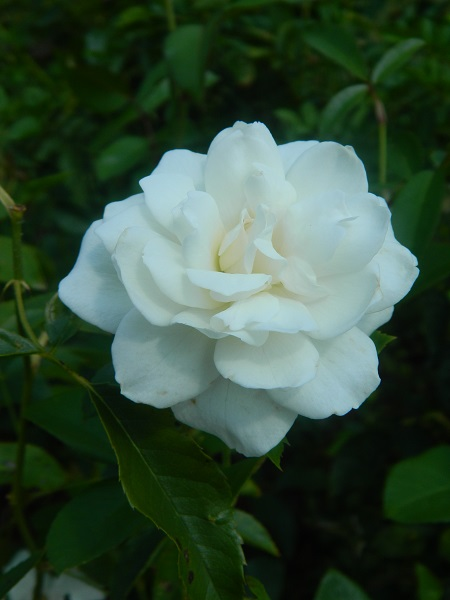 rose-b